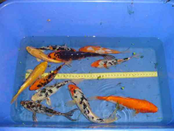 Seerosen kois teichtechnik teichtiere und teichpflanzen for Bunte teichfische