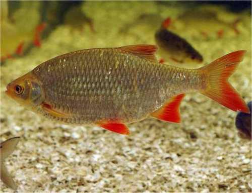 Seerosen kois teichtechnik teichtiere und teichpflanzen for Was fressen teichfische