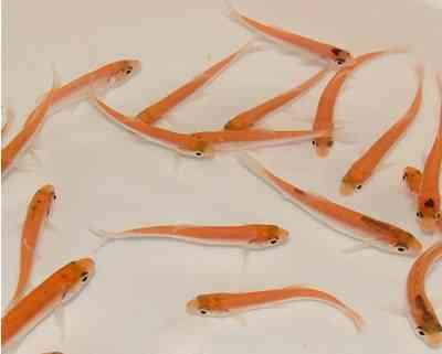 Seerosen koi sumpffplanzen teichschnecken teichmuscheln for Goldorfe fisch